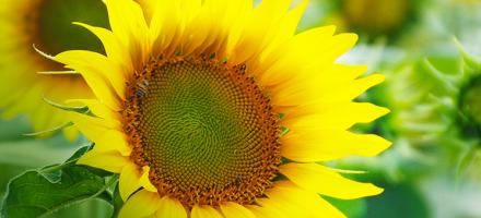 small image sunflower